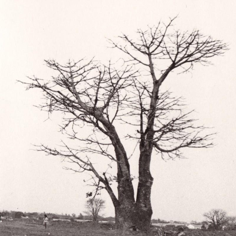 Embondeiro (Baobá)